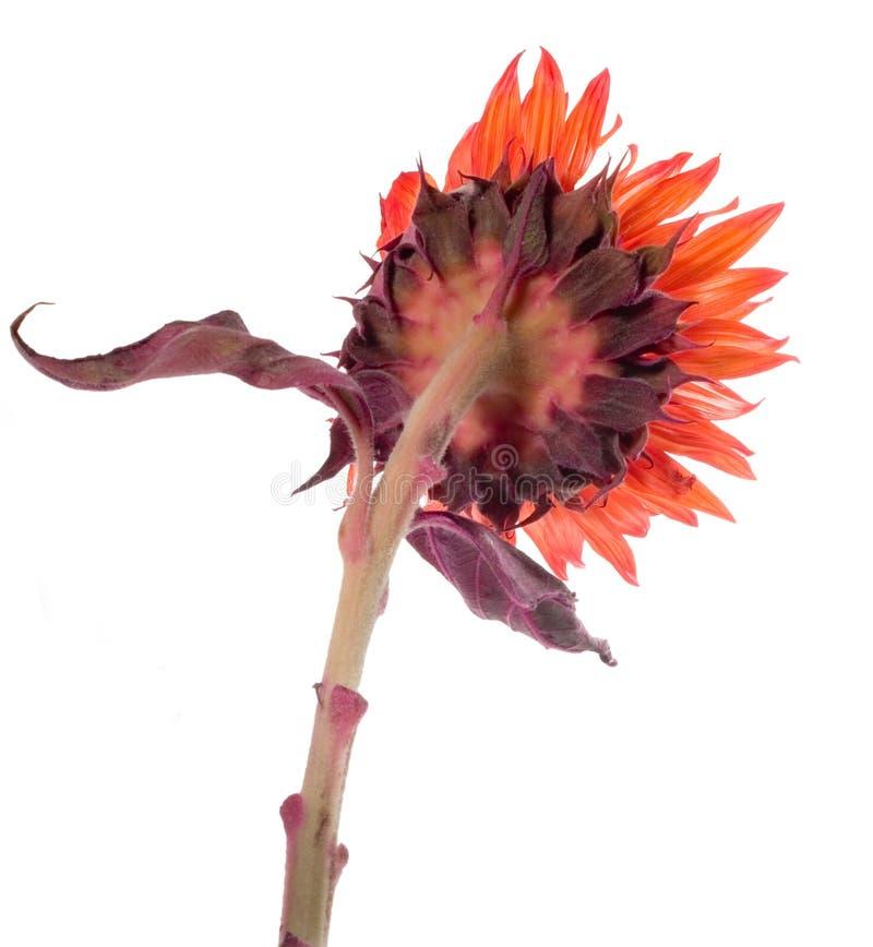 Girassol alaranjado de de trás isolado no branco foto de stock