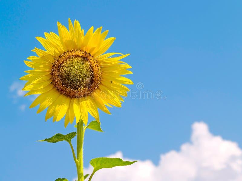 Girassol amarelo fotografia de stock