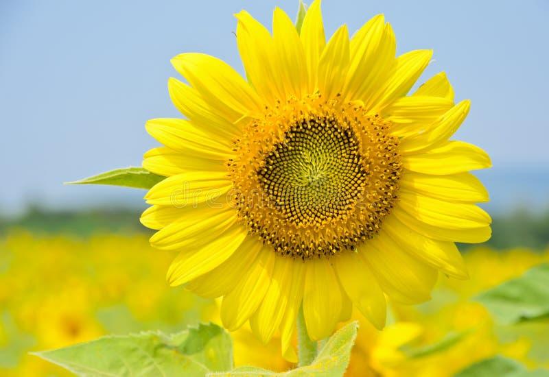 Girassol amarelo brilhante fotos de stock