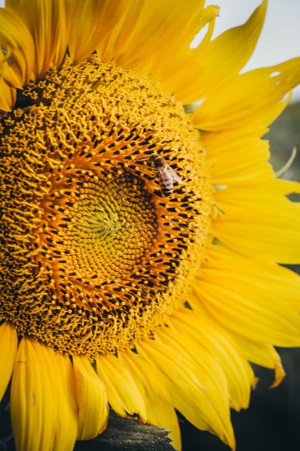 Girassol amarelo com abelha ocupada fotografia de stock royalty free