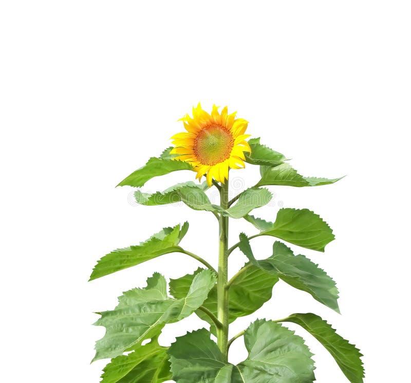 Girassol amarelo com as folhas isoladas no fundo branco com trajeto de grampeamento imagem de stock