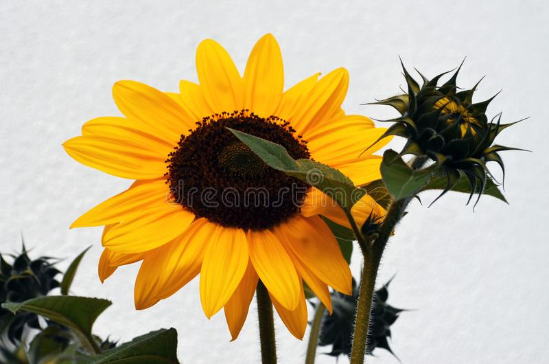 Girassol amarelo e um botão da abertura fotografia de stock