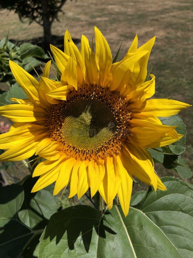 Girassol amarelo na flor completa no verão fotografia de stock