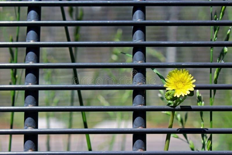 Girassol amarelo na flor sobre a cerca fotos de stock royalty free