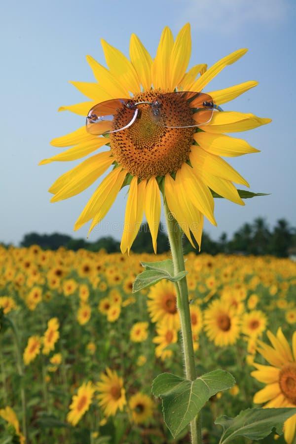 Download Girassol Amarelo Nos óculos De Sol Com Céu Azul Foto de Stock - Imagem de liberdade, vida: 29849472