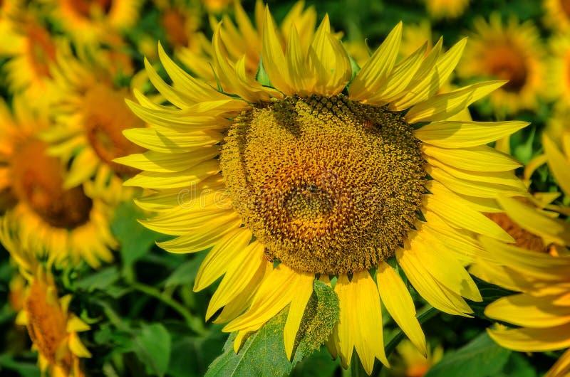 Girassol bonito com uma abelha fotografia de stock