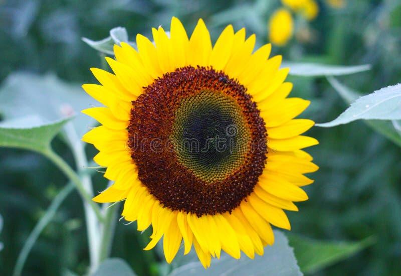 Girassol bonito que floresce na manhã do verão foto de stock royalty free