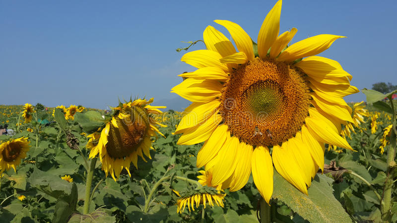 Girassol com abelhas fotos de stock