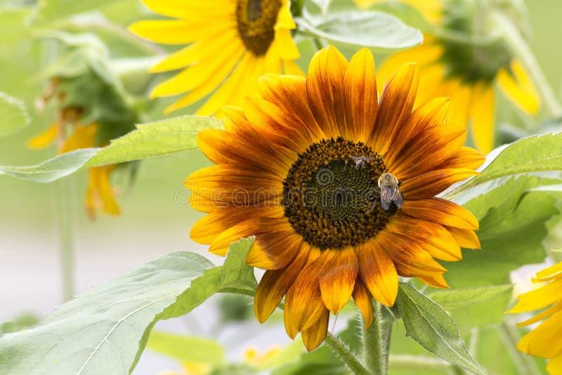 Girassol com abelhas imagens de stock royalty free