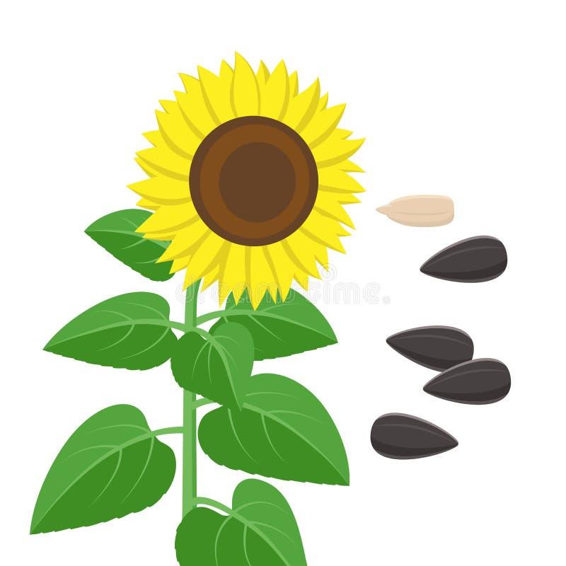 Girassol com folhas verdes e as sementes no estilo liso isoladas no fundo branco Ilustração do vetor da planta do girassol ilustração royalty free