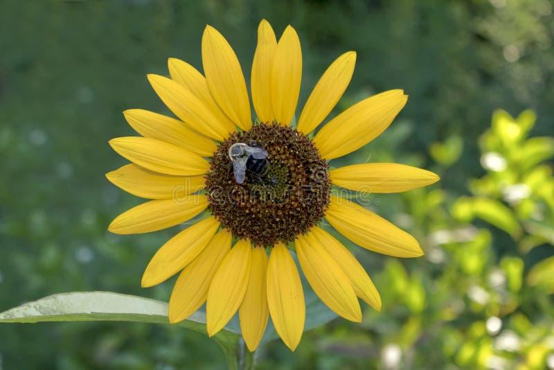 Girassol com uma abelha do Bumble