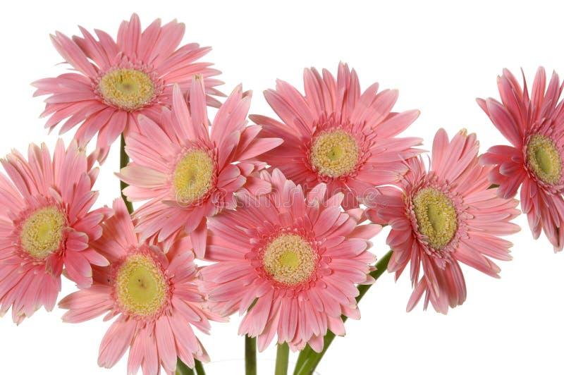 Girassol cor-de-rosa fotos de stock royalty free