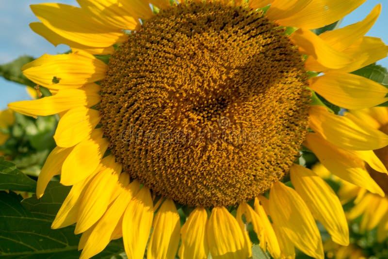 Girassol de florescência isolado sob o sol do amanhecer foto de stock