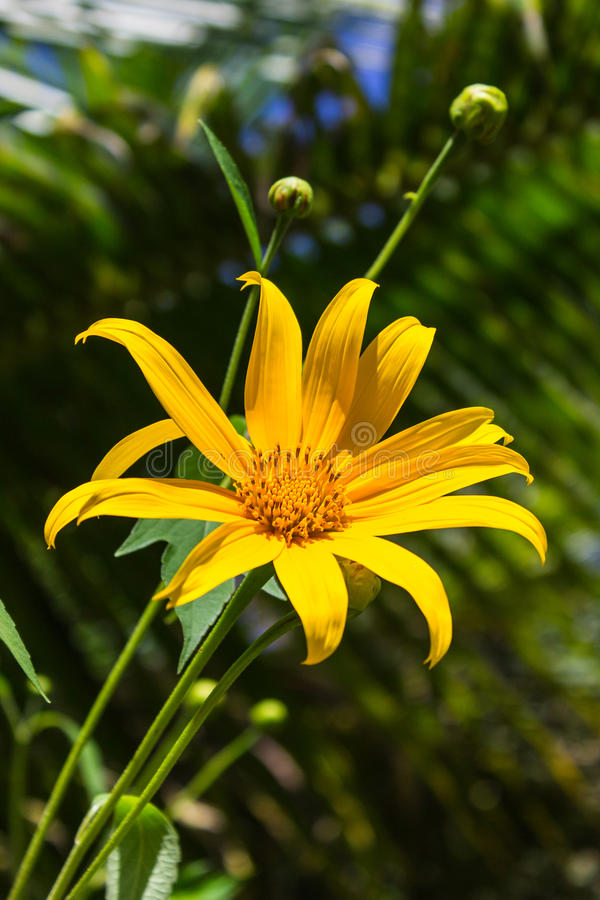 Girassol de Maxican ou flor de Dok Buatong em Tailândia fotografia de stock royalty free