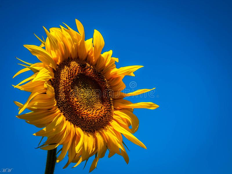 Girassol durante um dia ensolarado com céu claro foto de stock