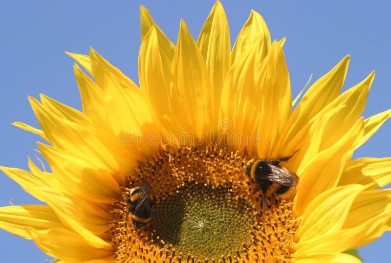 Girassol e 2 abelhas imagens de stock royalty free