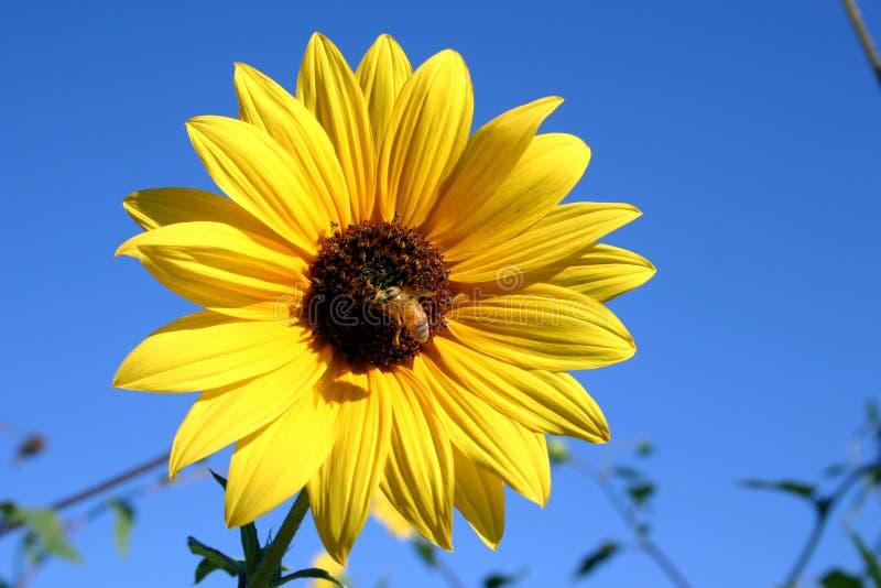 Girassol e abelha selvagens foto de stock royalty free