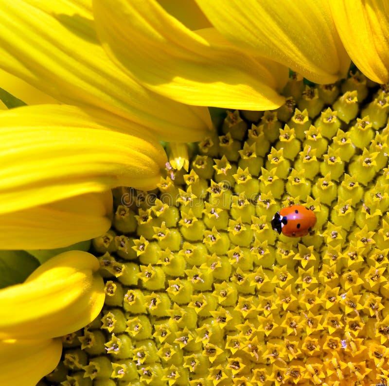 Girassol e ladybug fotografia de stock