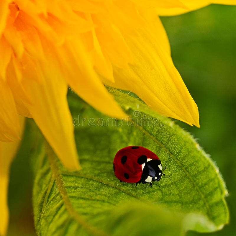 Girassol e ladybug fotografia de stock royalty free