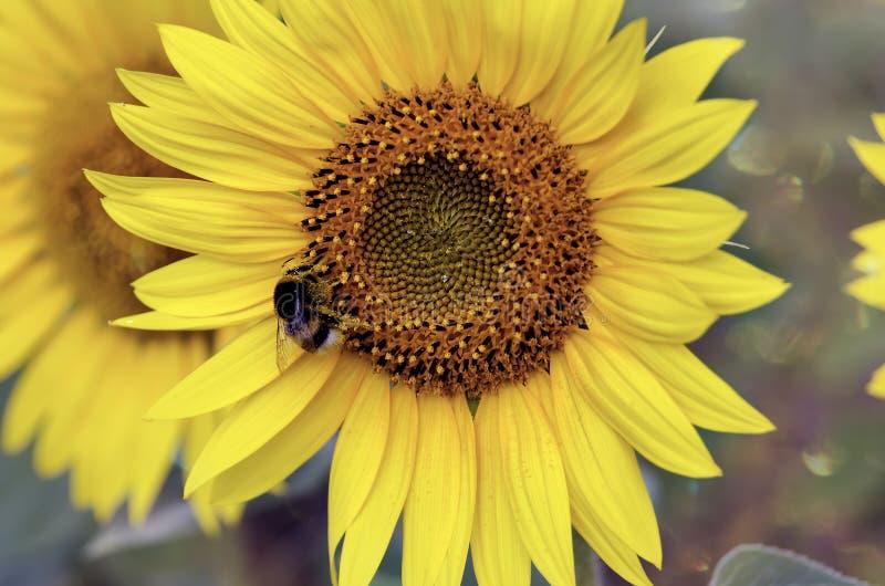 Girassol e uma abelha imagem de stock
