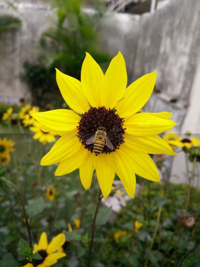 Girassol fresco, onde a abelha está recolhendo o néctar da flor fresca imagem de stock