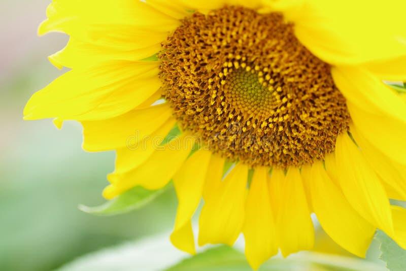 Girassol, fundo amarelo macio da flor imagem de stock royalty free