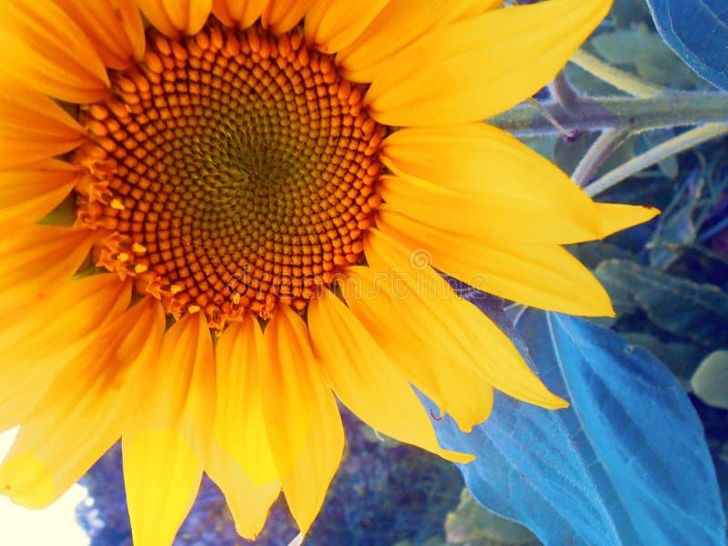 Girassol - fundo ascendente próximo da flor imagem de stock royalty free