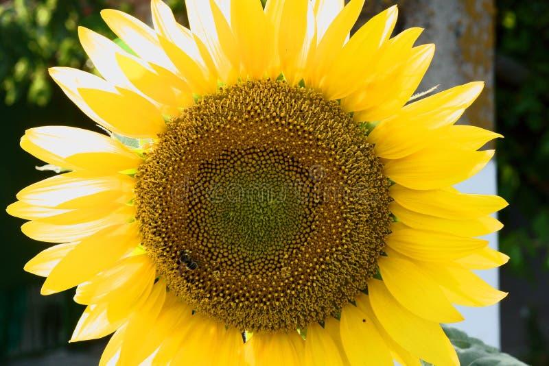 Girassol grande e abelha pequena imagem de stock royalty free