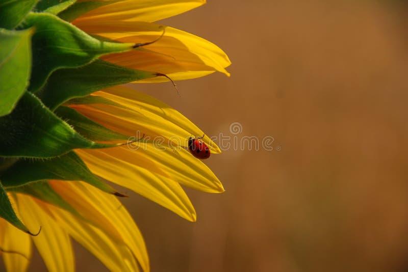 Girassol Ladybug no girassol fotos de stock royalty free