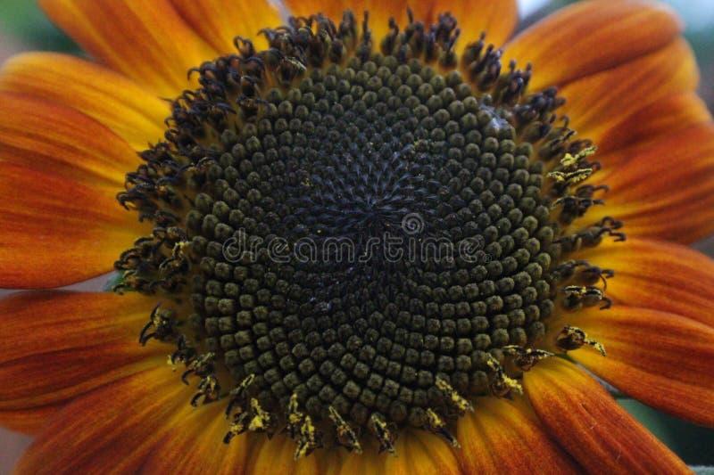 Girassol na flor cheia foto de stock