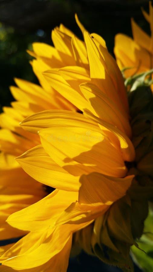 Girassol na luz do sol fotos de stock