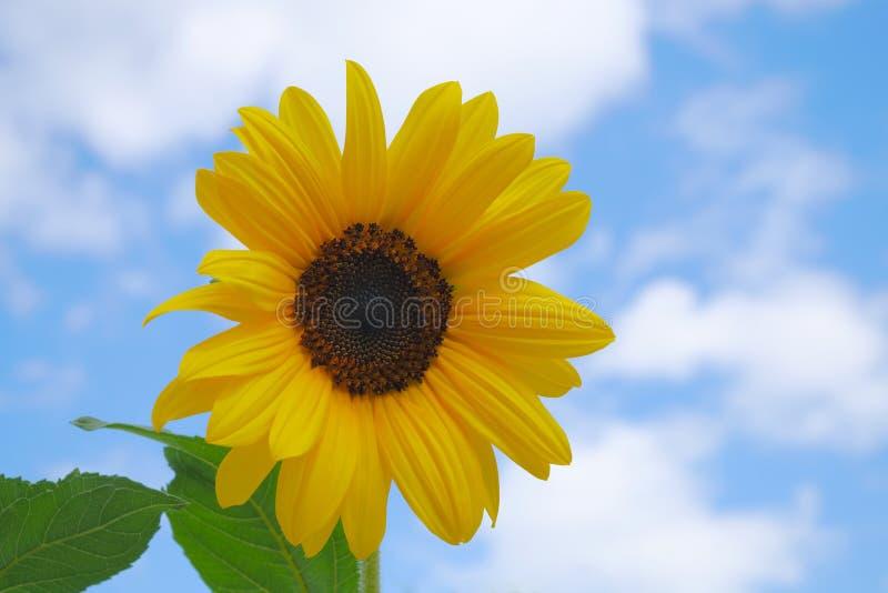 Girassol na luz solar da flor do amarelo do céu azul fotos de stock royalty free