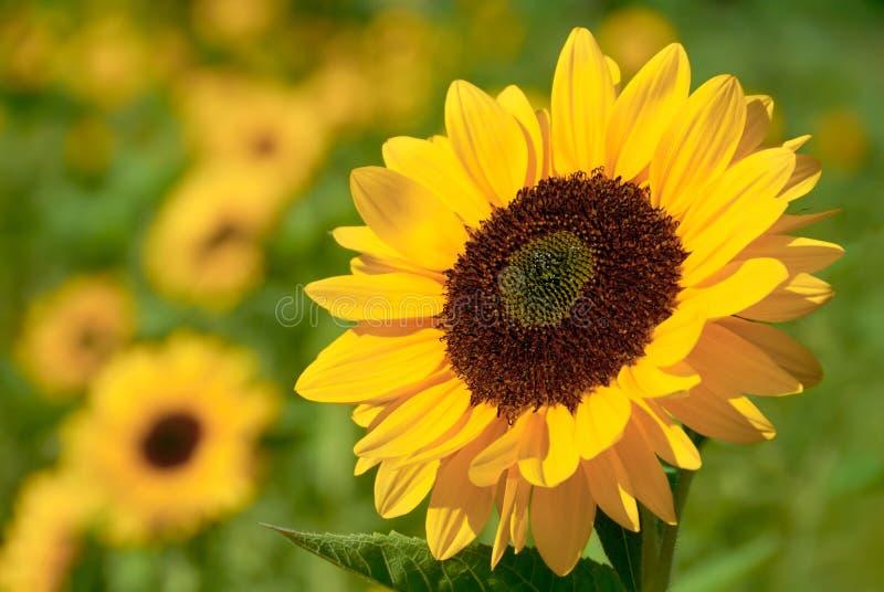 Girassol na luz solar morna imagens de stock royalty free