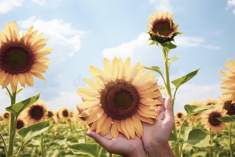 Girassol nas mãos fêmeas Fundo natural bonito H? um lugar para o texto fotografia de stock royalty free