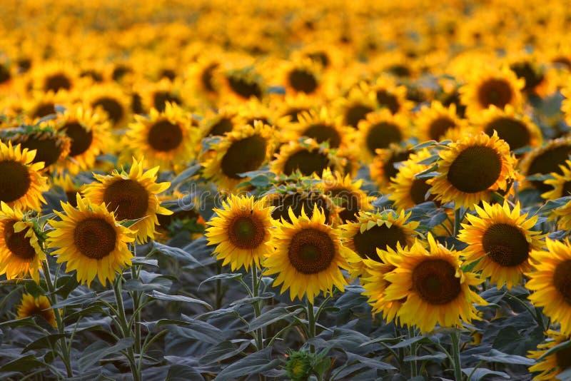 Girassol no por do sol imagens de stock