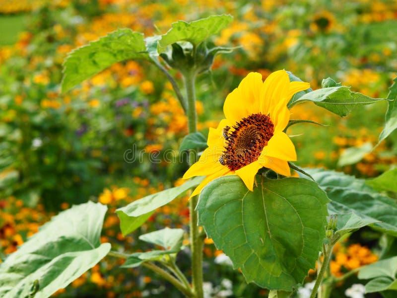 Girassol, polinização por abelhas no dia da luz do sol, campo borrado fotos de stock royalty free