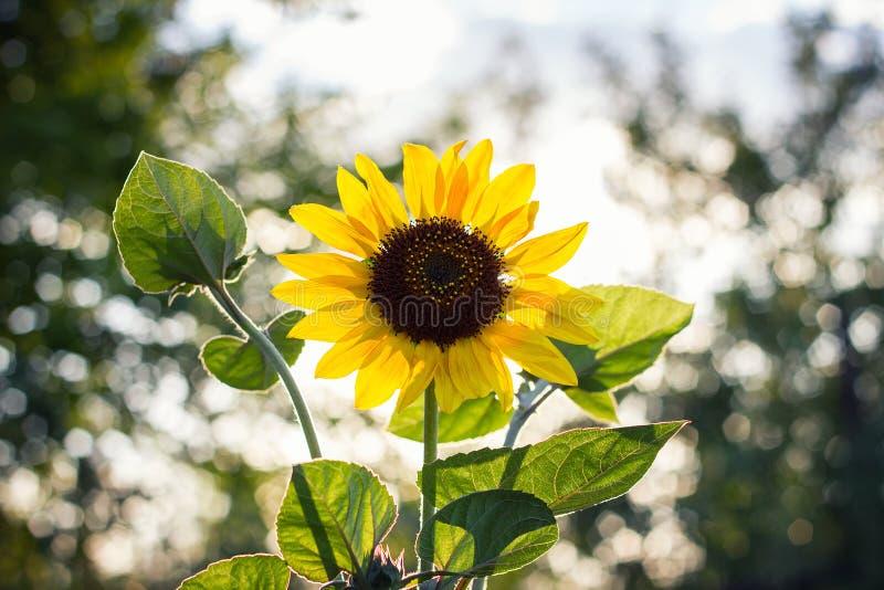Girassol só no por do sol com fotografia de stock