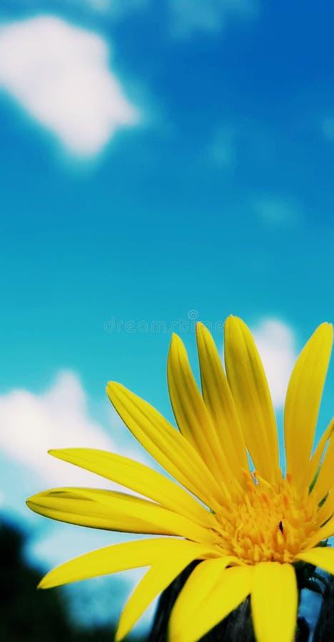 Girassol vibrante fotografia de stock