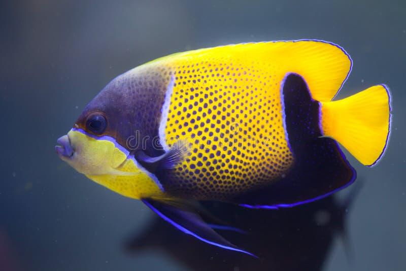 Girdled angelfish Pomacanthus navarchus obraz royalty free