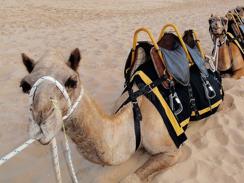 Giri del cammello immagini stock