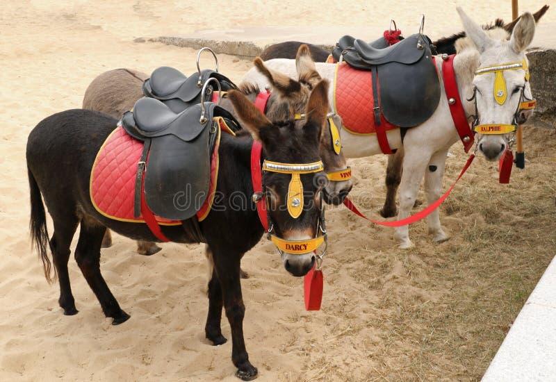 Giri dell'asino sulla spiaggia di Yarmouth immagini stock libere da diritti
