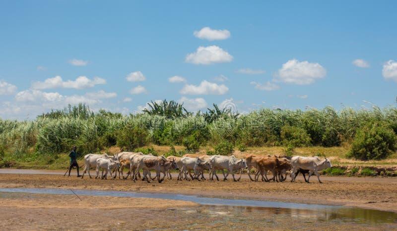 Giriama baca z krowami przy Galana brzeg rzeki obrazy stock