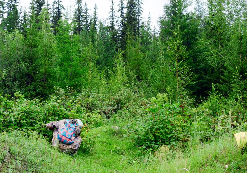 A girl with a backpack in protective clothing squatting collects wild currant berry in the spruce forest. stock photo