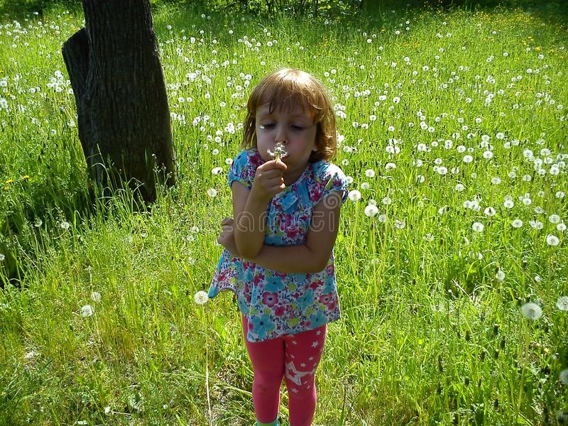 Girl blowing on white fluffy dandelion seeds. A child walks in the summer on a green lawn. The baby puffed out her cheeks, royalty free stock photography