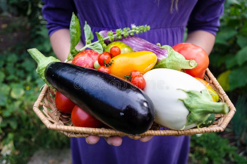 Organic egglants or aubergines, different types of tomatoes and basil freshly picked from organic garden. stock images