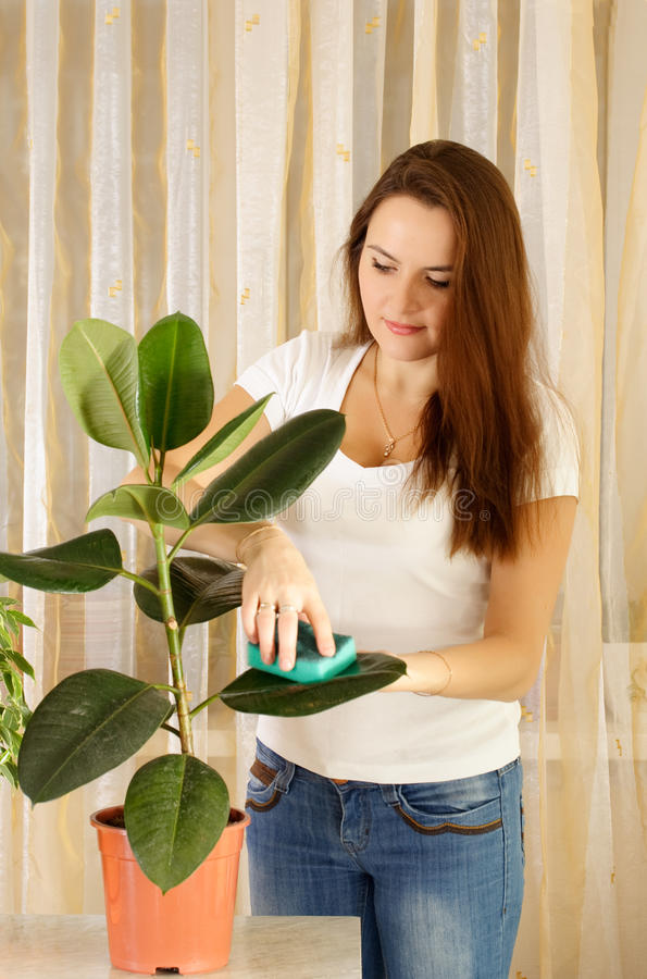 Download Girl cleaning ficus stock photo. Image of interior, sponge - 11724606