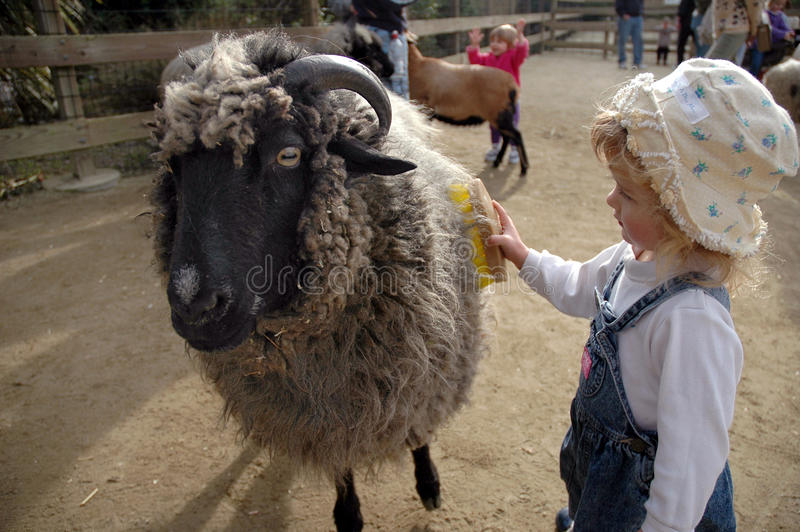 Girl combs sheep royalty free stock image