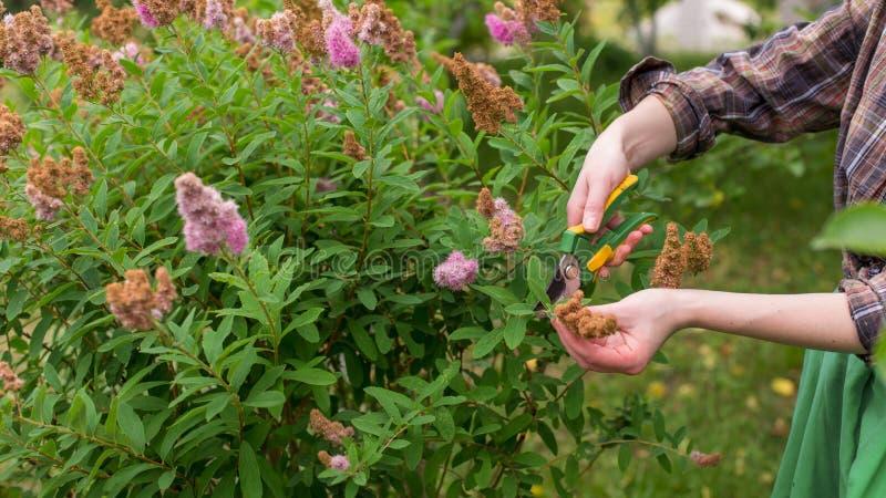 Pruning of garden stock image