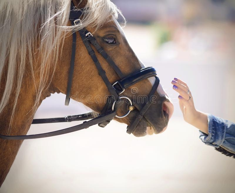 A girl in a denim jacket gently strokes a beautiful horse. Of a palomino suit with a long combed mane, illuminated by sunlight stock photo