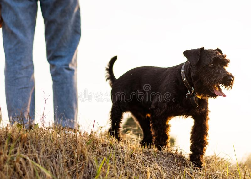 Girl  with dog Miniature Schnauzer plays at sunset royalty free stock images